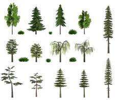 different types of trees types of pine trees gardening central