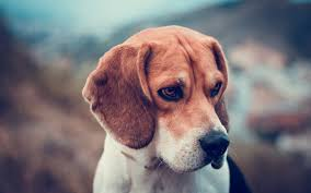 Dog Wallpapers Beagle Dog Wallpaper 15559 1920x1200 Umad Com
