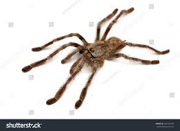 indian ornamental tree spider stock photo 255129736