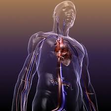 Online Human Body Circulatory System Anatomy In A Human Body 3d Model Max Obj 3ds