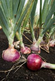 onion growing and harvest information growing vegetables