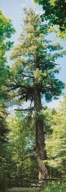 white pine trees how to plant white pine trees quetico superior foundation