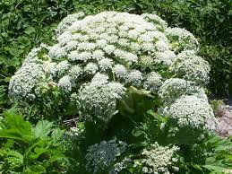 plants native to uk britain u0027s most toxic plant reportedly spreading across uk after