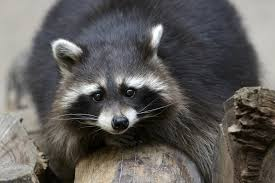raccoon halloween makeup wild animals as pets legal and ethical issues