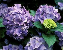 hydrangea guide to identifying types of old fashioned hydrangea