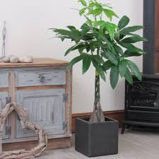 large plated pachira aquatica money tree 1m indoor house or