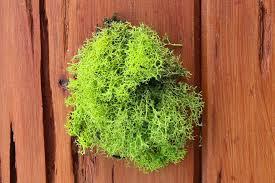 wholesale chartreuse green reindeer moss terrarium supplies