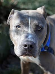 american pitbull terrier jumping adopted a035418 my name is mr ripley i am a male gray and white