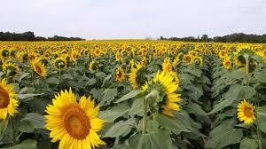 native plants of kansas the grinter sunflower fields in northeast kansas diana