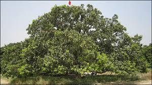 mango trees mangifera spp evergreen arborist consultants