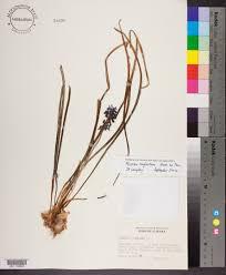 plants native to alabama muscari neglectum species page apa alabama plant atlas