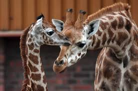 giraffes advocates push for inclusion on endangered list