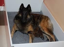 belgian sheepdog for sale uk mucius estabilished 1991 groenendael u0026 tervueren