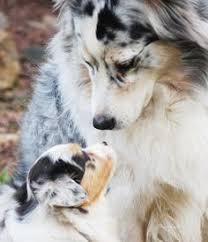 australian shepherd puppies 500 australian shepherd cute puppy and dog animals pinterest