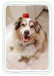 circle c australian shepherds life stories the story of u2026 the birthday 3 peas photography