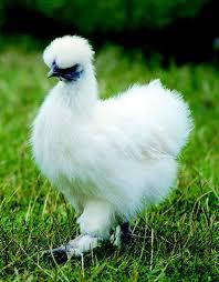 chicken breeds for kids raising chickens