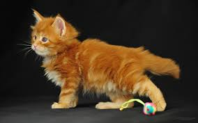 maine coon cat personality characteristics and pictures