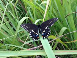 east texas native plants eastern black swallowtail butterflies everywhere here u0027s how to