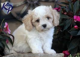 puppies for sale pa cavachon puppy cavachon puppies for sale in pa