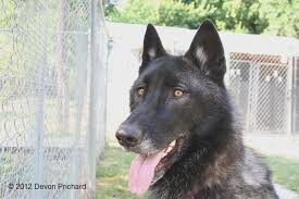belgian shepherd wolf mix devon prichard photography