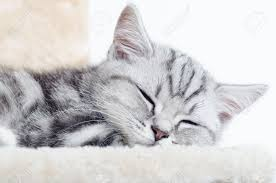 sleeping on short hair british shorthair silver tabby cat sleeping stock photo picture and