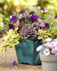 Plant Combination Ideas For Container Gardens 35 Beautiful Container Gardens Midwest Living