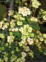 no involved in growing crown thorns plant silive com