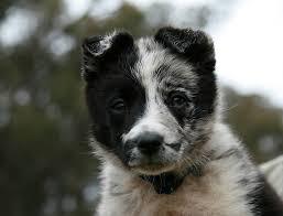 resume template accounting australian kelpie dog temperament by breed australian koolie dog photo australian koolie puppy puppies