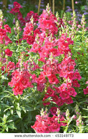 snapdragon flowers snapdragon flower stock images royalty free images vectors