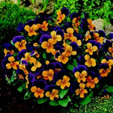 edible flowers for sale 23 best edible flowers violas images on edible