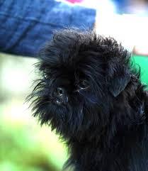 affenpinscher zucht deutschland affenpinscher hunderasse rassebeschreibung