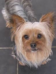 adopt mason on yorkshire terrier yorkshire and terrier