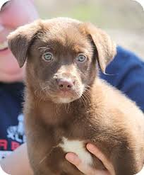 australian shepherd lab mix puppy busta rhymes adopted adopted puppy 68150 mahwah nj