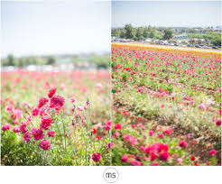 carlsbad flower garden carlsbad flower field adventure margarette sia photography