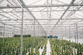 photos inside a medical marijuana grow operation canadian