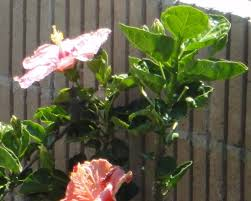 Braided Hibiscus Tree Pictures by Hummingbirds U0026 Hibiscus