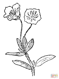 kalmia microphylla or swamp laurel coloring page free printable