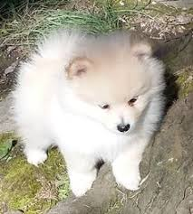 american eskimo dog or puppy for sale in mn german shepherd dog puppy for sale in glendale az adn 29144 on