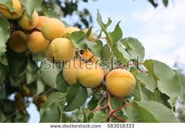 apricot tree branch stock images royalty free images vectors