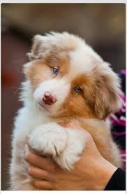 rockin b miniature australian shepherd 16 best amy u0027s puppy s wish images on pinterest animals