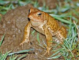 How To Get Rid Of Cane Toads In Backyard Big Fat Toad