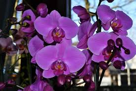 purple orchids purple orchids free photo smart photo stock