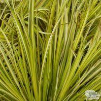 buy ornamental grasses garden plants for sale from jacksons nurseries
