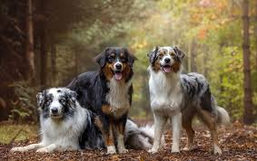 1 australian shepherd australian shepherd dog photo 3 75 dog breed atlas