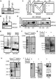 mafs floor plan mic60 and opa1 interact in complexes disrupted during cristae