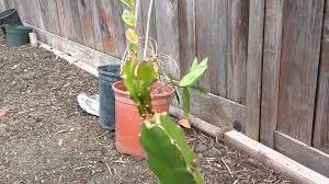 dragon fruit pruning time youtube