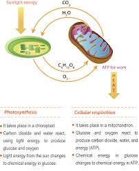 Photosynthesis Concept Map Photosynthesis Flowchart Create A Flowchart