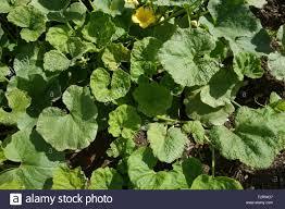 Squash Plant Diseases Pictures - squash disease stock photos u0026 squash disease stock images alamy