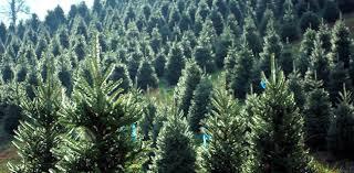 el dorado county christmas tree growers choose and cut