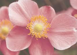 september charm japanese anemone monrovia september charm